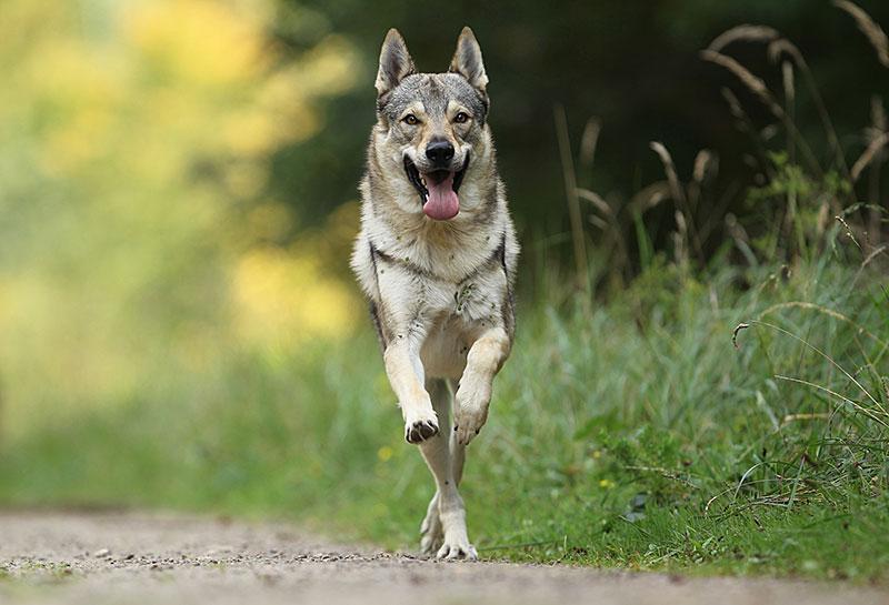 idefix vom wengerhof tschechoslowakischer wolfshund zuchtst tte von z rich nord. Black Bedroom Furniture Sets. Home Design Ideas